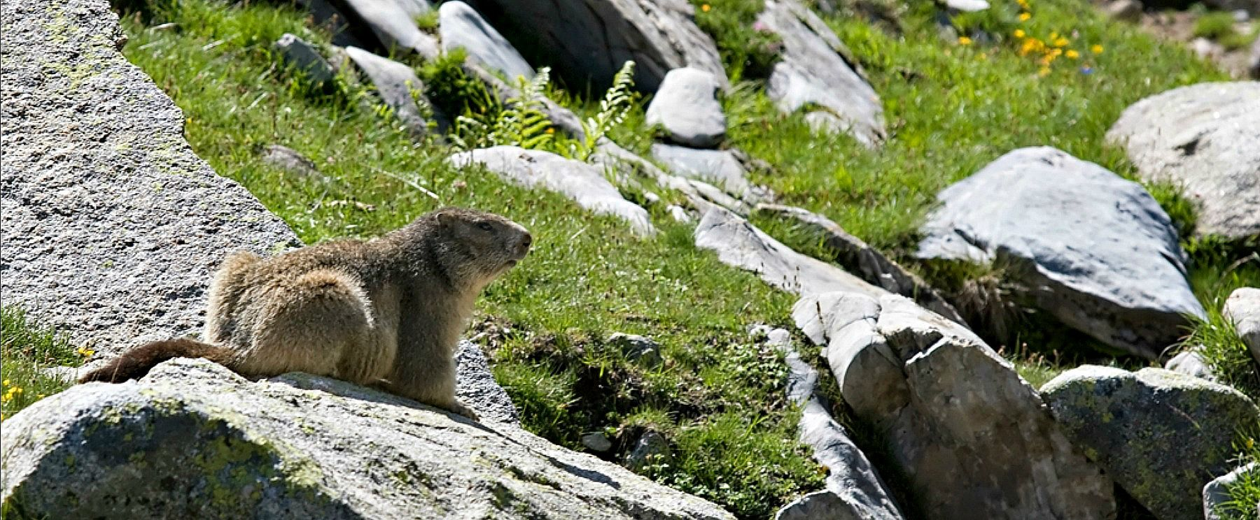 A marmot on alert sitting on a rock in the Pyrenees on Aragon Active Natural History Holiday