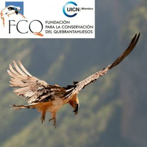 A Lammergeier or bearded vulture in flight in the Pyrenees thanks to the Fundación Para La Conservación Del Quebrantahuesos supported by Aragon Active Responsible Travel